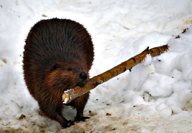 Beavers Breakfast By Property#1 on Flickr